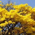 Projeto de arborização quer colorir Registro com flores de Ipê e Quaresmeira